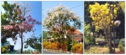 Pohon Tabebuya justru mekar sempurna di musim kemarau (foto: dok. pribadi)
