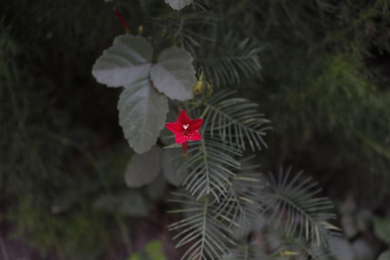 bunga merah/Yusuf Ari