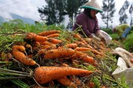 Ilustrasi panen wortel (foto: koran-jakarta.com/Anis Evizudin)