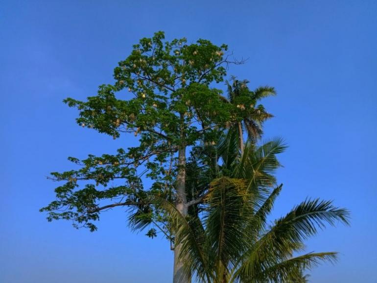 Pohon randu semi di musim kemarau. (dokumen pribadi)