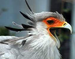 Gambar kecantikan Paras Burung Sekretaris (Sumber: Wikipedia.org)