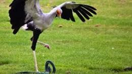 Ilustrasi Secretary Bird Saat Hendak Memangsa Seekor Ular (Sumber: bbc.com)