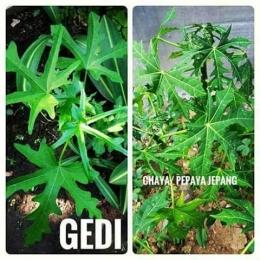 Sumber gambar : FB jualan bibit tanaman herbal.