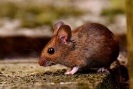 Ilustrasi tikus|dok PIXABAY/ALEXAS_FOTOS, via kompas.com