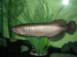 Arwana Jardini (sumber foto: fishworlds.blogspot.com)