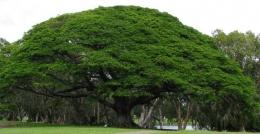 Pohon Trembesi alias Ki Hujan. Foto: mongabay.com