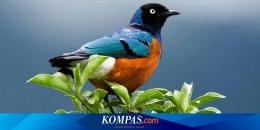 Kicau burung di pucuk daun (kompas.com)