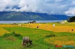 Ekologi Budaya Sawah di Baktiraja (Foto: Kementerian Parekraf via gajahtoba.com)