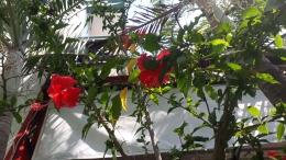 Tanaman Bunga Sepatu yang Tumbuh di Pekarangan Rumah Warga (dokpri)