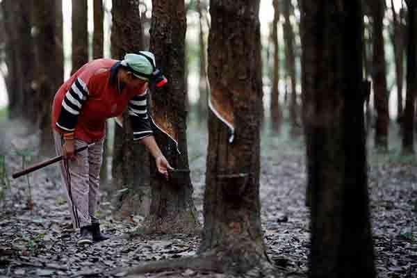 Petani Karet sedang beraktivitas memahat batang karet. Sumber: Market Bisnis.com