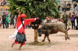 Mangalahat horbo, tradisi menyembelih kerbau|foto: visitsamosir.com