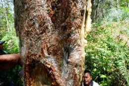 Batang pohon kemenyan Toba (haminjon) yang menjadi flora endemik. (Sumber: Kompas.)