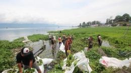 Puluhan pemuda melakukan aksi bersih eceng gondok di sepanjang pantai Tiga raja Danau Toba, Parapat Simalungun (medan.tribunnews.com)