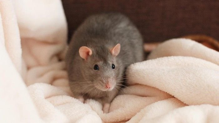 Ilustrasi tikus, sumber: Thinkstock via detik.com