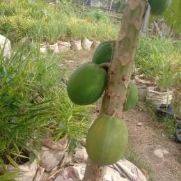 Foto.dok.pri./pohon pepaya hasil dari pupuk organik eko enzyme