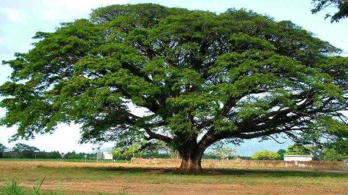 Ilustrasi pohon trembesi| Sumber: Naufalbear via Tribunnews.com