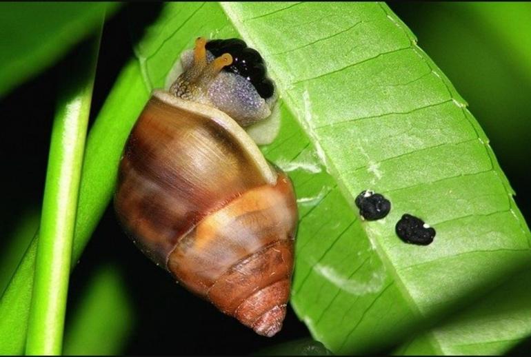 Siput tanaman atau bekicot rumah (Foto: pixabay.com/cancun)