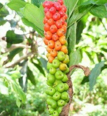 ilustrasi Bunga Porang   Sumber: ccnindonesia.com
