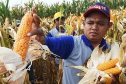 Ilustrasi petani sedang memanen jagung. Foto: Bahana Patria Gupta/Kompas.com