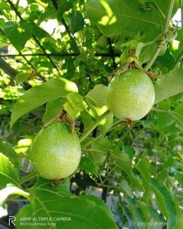 Pohon Markisa di halaman depan rumah penulis. (dokumen pribadi)