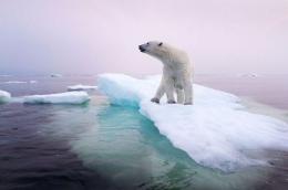 pemanasan global menjadikan es di kutub utara mencair. Menjadi ancaman bagi kelangsungan beruang kutub (gambar: National Geographic)