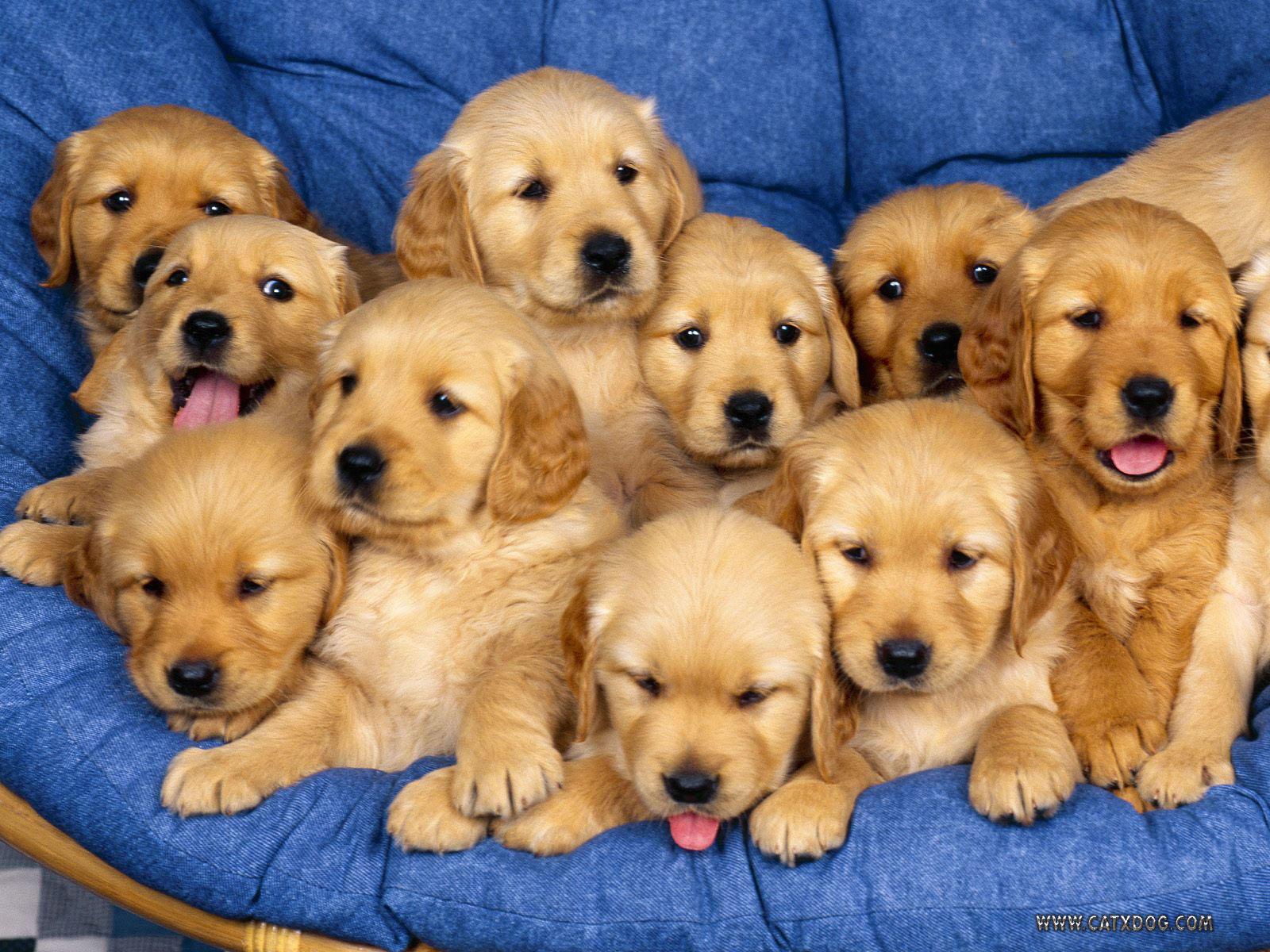 http://1.bp.blogspot.com/_RbYw_S1-bvE/TNoVkhHb0kI/AAAAAAAAAD4/0LiguDdtG-U/s1600/golden-retriever-puppies.jpg