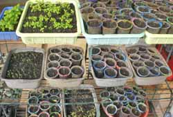menyemai benih di bekas air mineral (sumber gambar: famorganic.com)