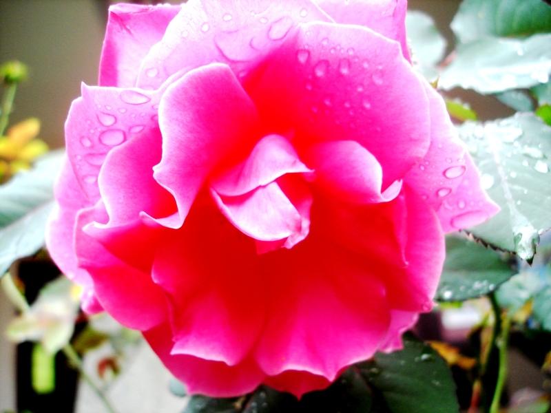mawar merah, tanda cinta mas Fajar pada seseorangkah?