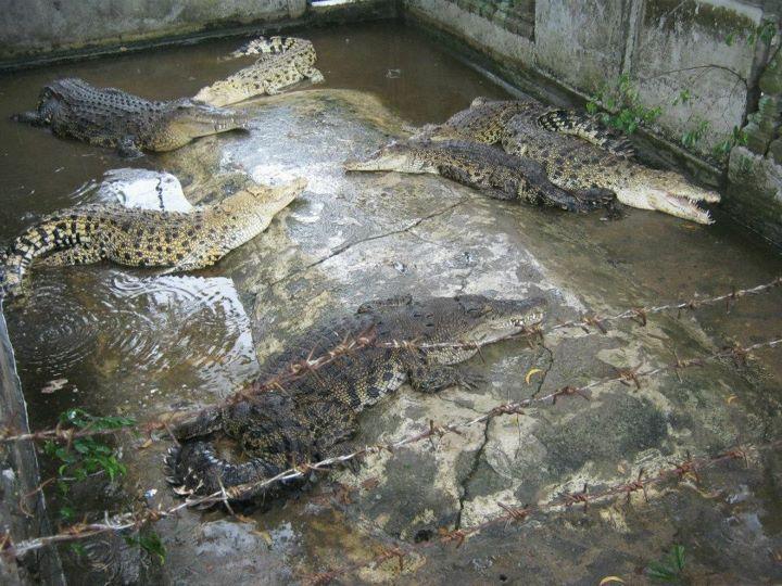 Taman Buaya di Melaka Ekor Buaya Berada di Taman