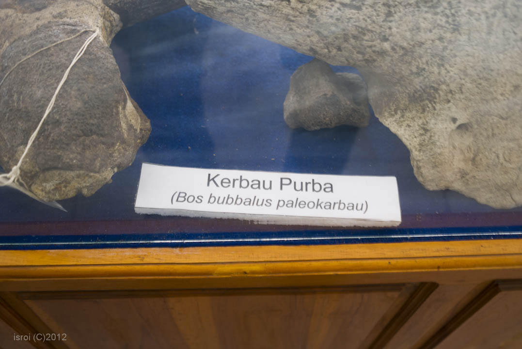 fosil kerbau purba