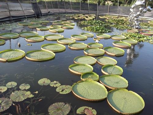 Tema taman yg berisi berbagai jenis tanaman air, King of Lotus konon menurut cerita daun teratai raja ini bisa menyanggah tubuh anak kecil dan tidak tenggelam.