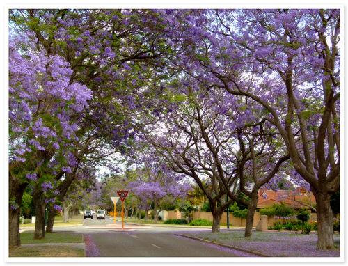 Street of Jacaranda Trees
