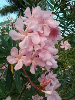 oleander2 | Foto: koleksi pribadi