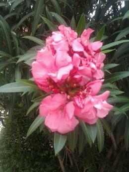 oleander3 | Foto: koleksi pribadi