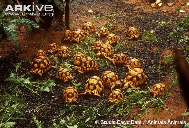 Kura kura Darat yang Umum Dipelihara di Indonesia