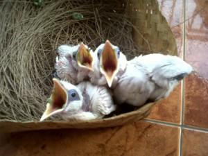 Tips Merawat Anakan Burung Jalak Bali dari Piyik Hingga Siap Jual