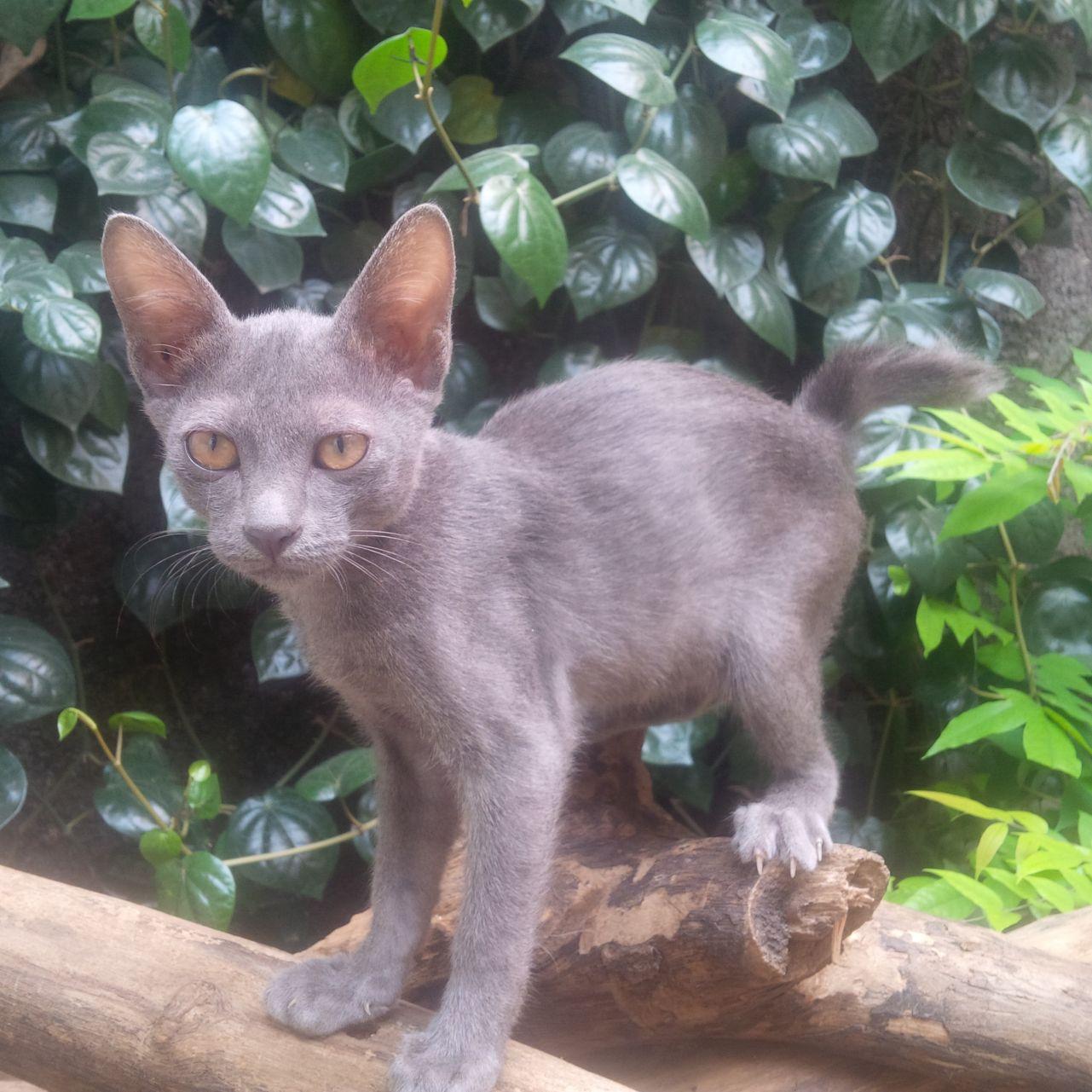 Download 68+  Gambar Kucing Anggora Ras Asli Paling Bagus