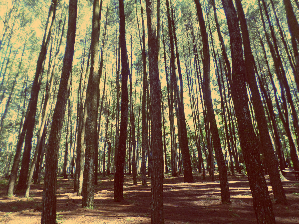 Hutan Pinus Imogiri
