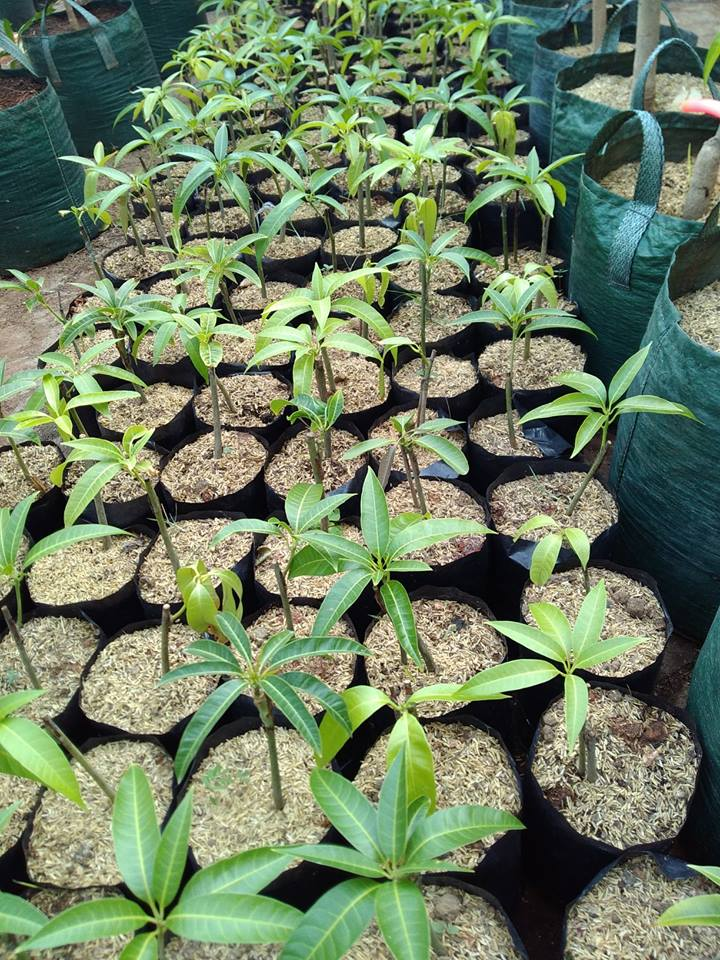 Saat ini harga jual di pasar buah Mangga Agrimania harganya bisa mencapai Rp. 100.000/Kg bertengger sejajar dengan buah mangga Import dari negara Thailand.
