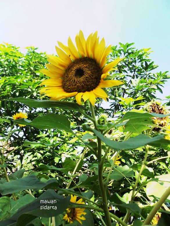 76 Gambar Akar Bunga Matahari