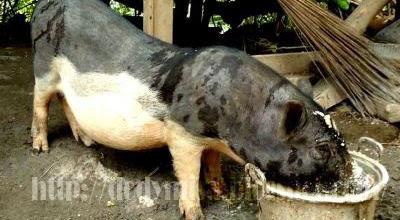 Kerbau dan Babi dalam Perspektif Budaya Batak oleh Masrul ...