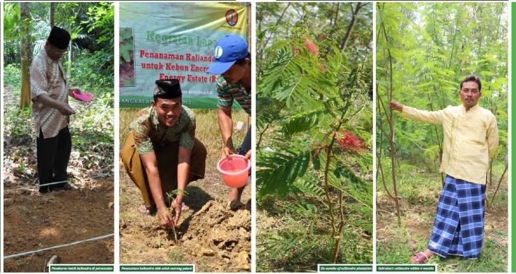 Penanaman serta tanaman Kaliandra Merah di Bangkalan