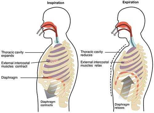 Mekanisme hisap dan keluar pernafasan diafragmatik (diafragma-pdhpe.net)