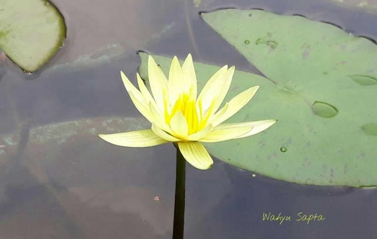 Ternyata Bunga Teratai Itu Tidak Sama Dengan Lotus Kompasiana Com