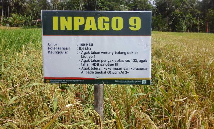 Area lahan kering yang ditanami varietas Inpago di Desa Banjareja, Kecamatan Cipuring, Kebumen. Foto Setiyo