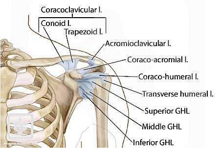 Ligamen pada bahu. Sumber: shoulderdoc.co.uk