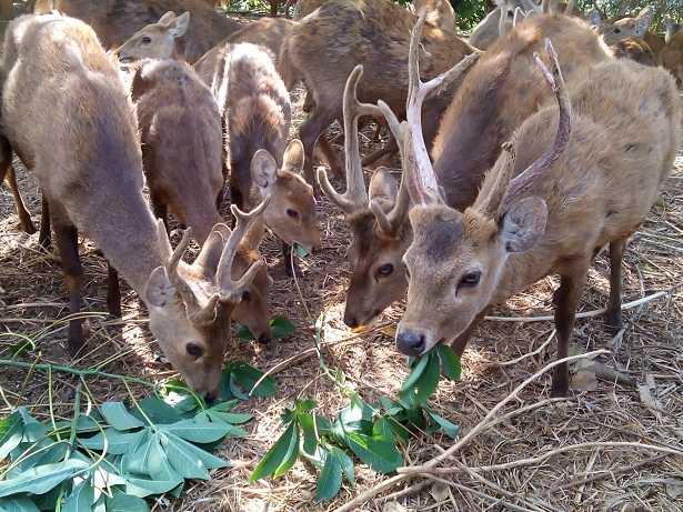 DILINDUNGI: Kawanan rusa bawean di penangkaran Desa Pudakit, Kecamatan Sangkapura, Gresik.   bawean.net