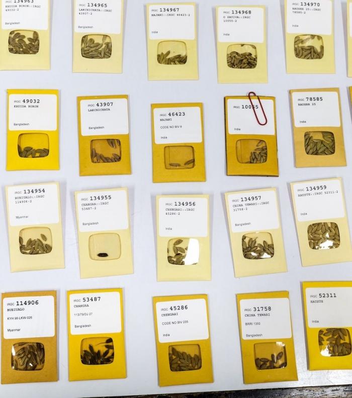 Koleksi benih padi di Bank Benih Padi IRRI. Photo: Getty Images