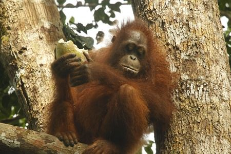 Orangutan yang mendiami rimba raya di Kalimantan. Foto dok. Yayasan Palung