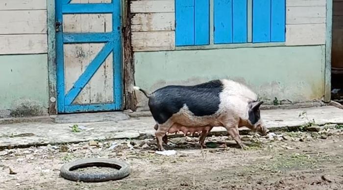 Babi yang terlihat di Desa Hotanagodang, Muara. (Foto Ganendra)